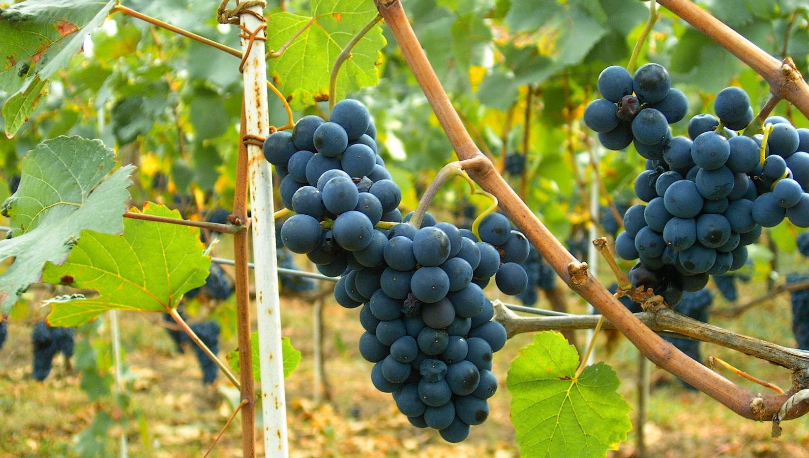 Pinot Noir: The temperamental traveller